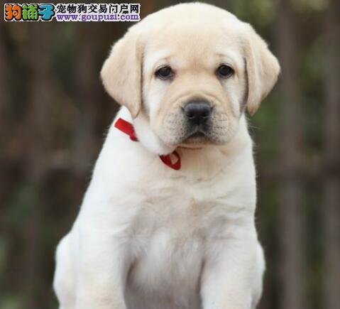 家养好品质西安拉布拉多犬转让公母都有签协议