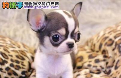 广州哪里有卖吉娃娃广州吉娃娃的价格照片