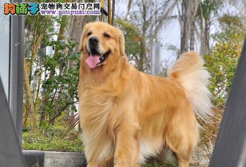 西安专业的金毛犬舍终身保健康我们承诺终身免费售后