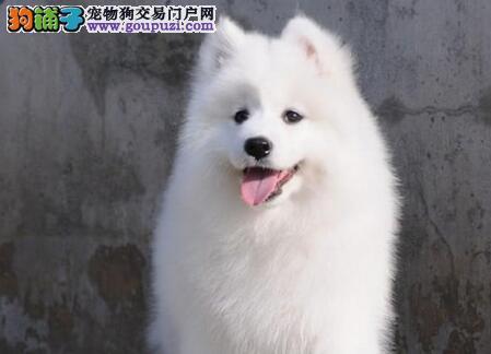 熊版萨摩耶幼犬出售 多只可选 包犬瘟细小 本地送货上门
