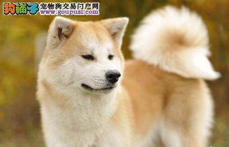 厦门正规犬舍低价直销日系秋田犬 建议大家上门看种犬