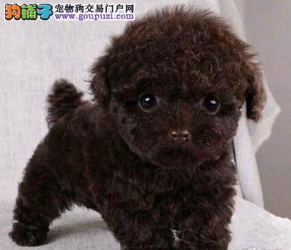 安阳繁殖售进口韩国泰迪熊买狗送全套用品质量品质保证