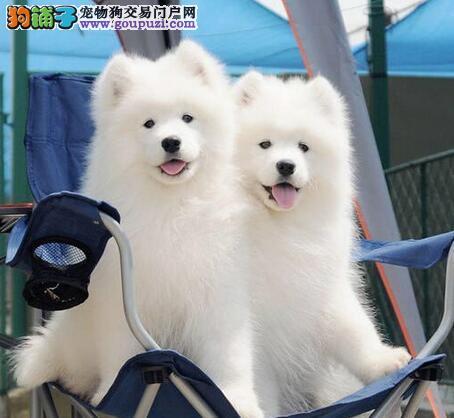开封出售家庭式繁殖纯血统澳版萨摩耶幼犬