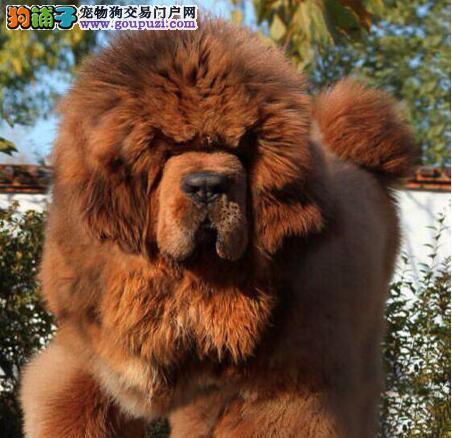 CKU认证獒场出售顶藏獒幼犬选择空间大有协议有合同