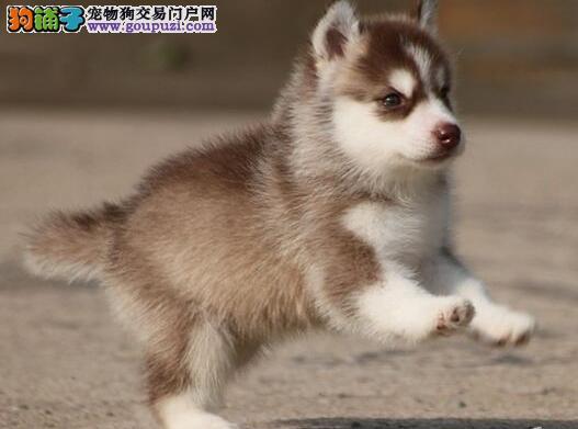 西安精品三把火蓝眼睛哈士奇幼犬出售中 包健康三个月
