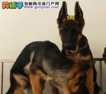 欢迎来包头上门挑选纯种锤系德国牧羊犬 可视频看狗