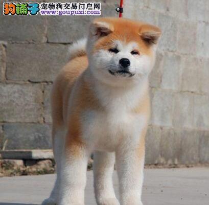 包头专业犬舍繁殖出售纯种日系秋田犬 全国可免邮费