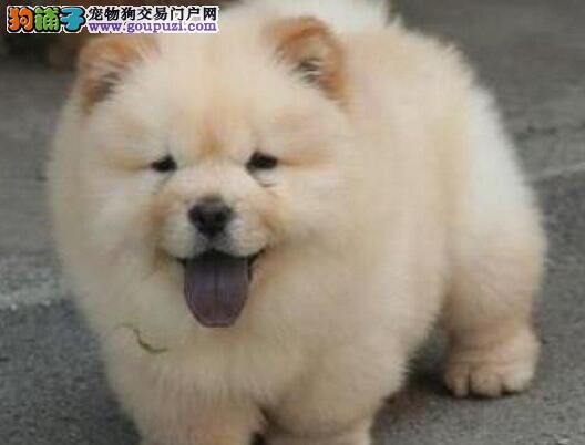 郑州买精品松狮犬保纯种健康 签协议 可见父母疫苗齐全