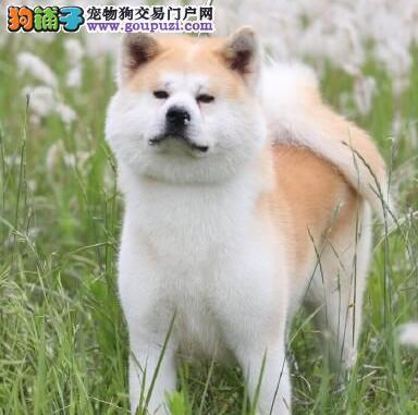 重庆专业繁殖纯种秋田幼犬可送货上门签协议保健康