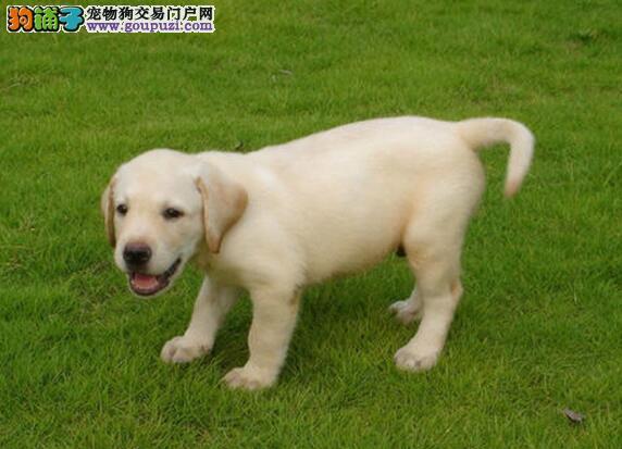 出售完美品相血统纯的南京拉布拉多犬 一分价钱一分货