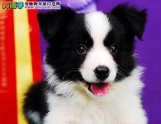 高智商易训练的南京边境牧羊犬找新家 可送货上门选购