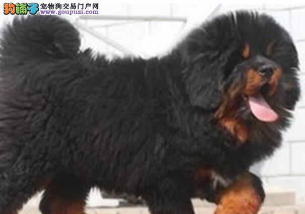 南京正规獒园出售大狮子头藏獒幼崽 保完美的售后服务