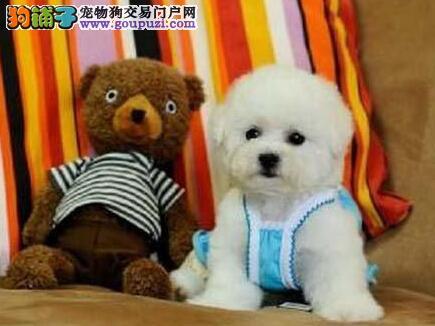 北京出售棉花糖比熊犬宝宝 包健康 个人繁殖