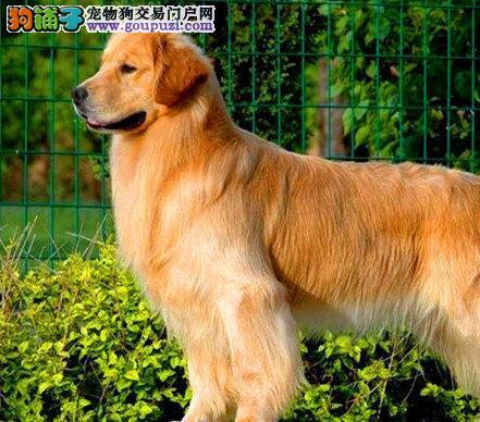 塑造美丽 金毛犬修剪毛发时要注意什么