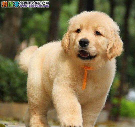 科学讲解 金毛犬不正常食用狗粮的原因是什么