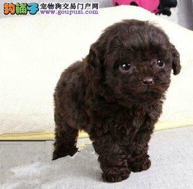 舟山自家养殖纯种泰迪犬低价出售终身完善售后服务1