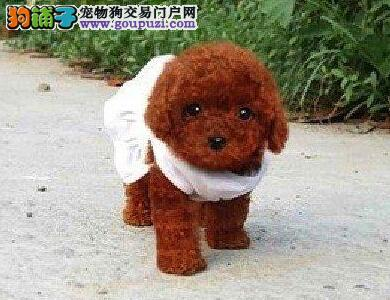 犬业出售品质优良血统纯正石家庄泰迪熊幼犬3