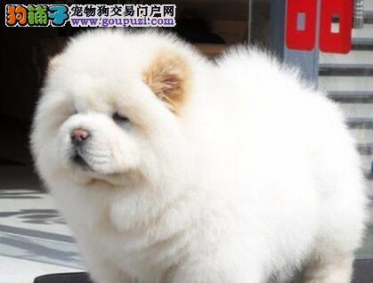 出售憨厚忠诚胖胖可爱松狮幼犬 便宜卖 可上门看狗