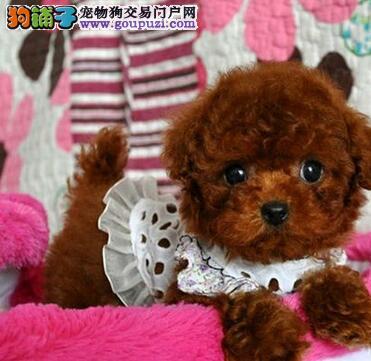 实物拍摄的泰迪犬找新主人微信看狗可见父母