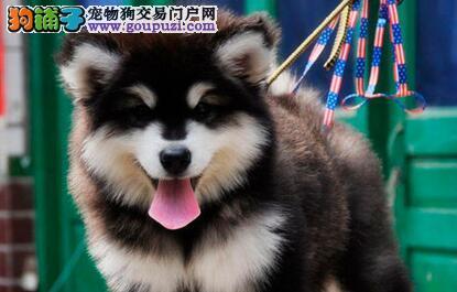 正规犬舍高品质阿拉斯加犬带证书真实照片视频挑选