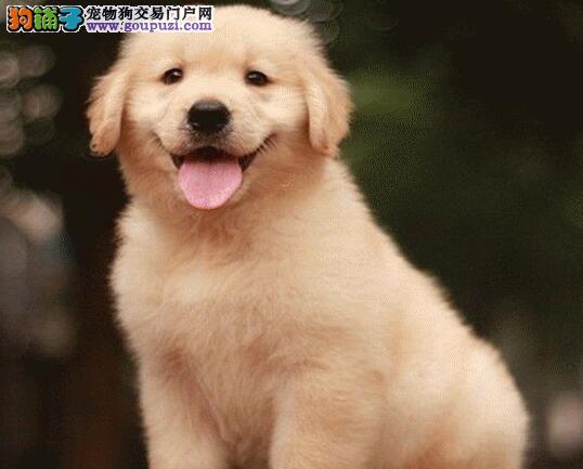 疑惑解答 年幼的金毛犬磨牙的原因是什么