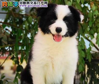 家养极品边境牧羊犬出售 可见父母颜色齐全签订保障协议