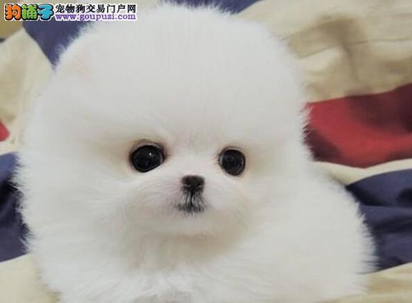 杭州自家狗场出售优秀哈多利版球型博美犬 疫苗已做齐