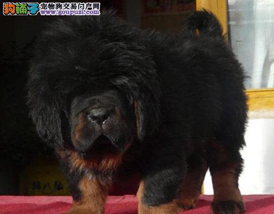 青岛獒园出售血统纯正的藏獒幼犬 价格好商量