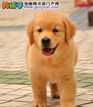 幼年的金毛犬在饲喂的时候要特别注意哪些事情