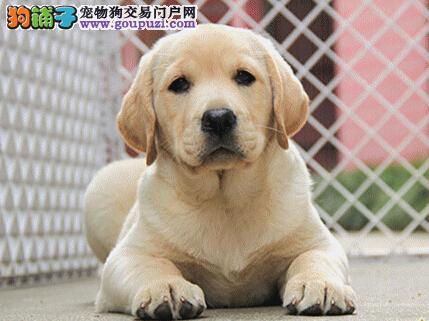 出售大头宽嘴的拉布拉多犬 沈阳市内可送狗上门