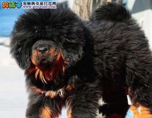 大狮头藏獒幼犬出售 欢迎联系