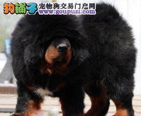 北京售纯种藏獒幼犬品相好,保健康公母全有保健康