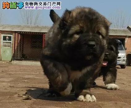 专业繁殖双赛级高品质高加索幼犬三针齐签质保自贡可送