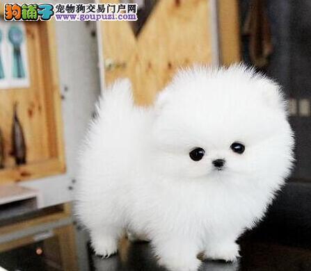 出售可爱纯种哈多利版成都博美犬 身体健康有保证