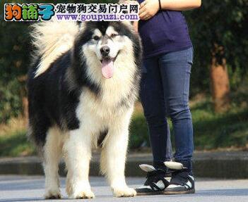 武汉售大骨架高品质熊版阿拉斯加犬包健康养死包退换