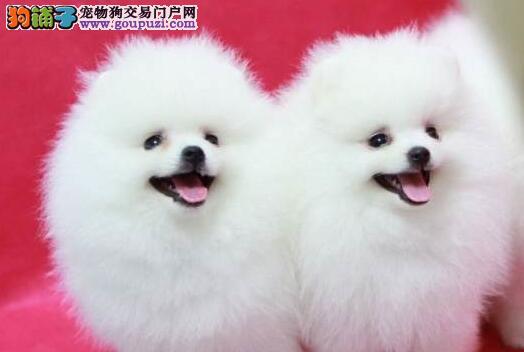出售纯种哈多利博美 松鼠犬 球体博美北京售