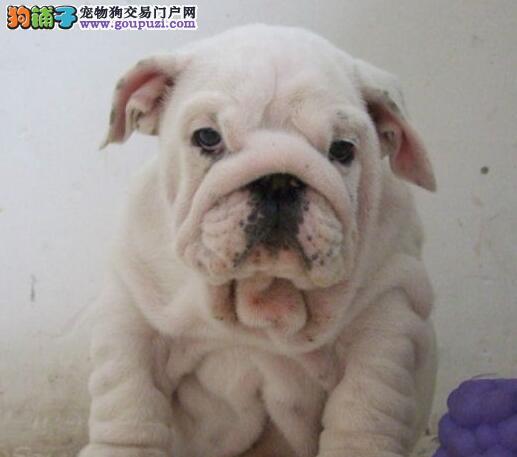 广州售纯种英牛 英国斗牛犬幼犬