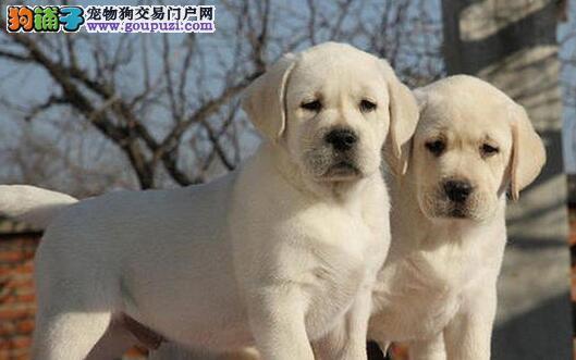 莆田大型犬舍低价热卖极品拉布拉多终身售后送货