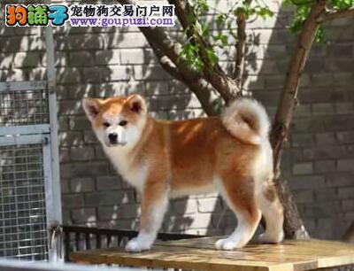 专业繁殖纯种犬基地售顶级秋田犬三针齐 质保三年