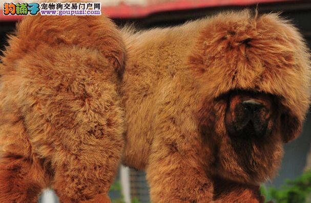 纯种藏獒特价出售 多只铁包金低价转让敬请来北京挑选