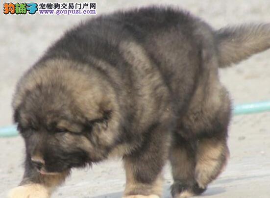 高加索金华最大的正规犬舍完美售后喜欢加微信可签署协议