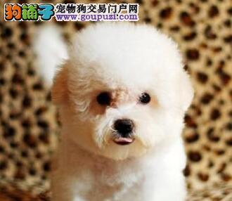 南京售纯种精品比熊幼犬 品相极佳 不掉毛 纯正血统