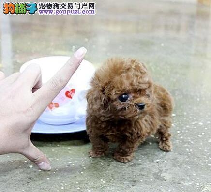 武汉热卖泰迪犬多只挑选视频看狗品质优良诚信为本