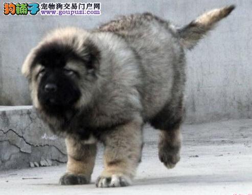 天水出售极品高加索幼犬完美品相保证冠军级血统