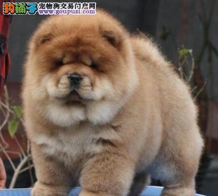 美系肉嘴松狮犬出售 多只多色可选 CKU认证犬舍 可刷卡