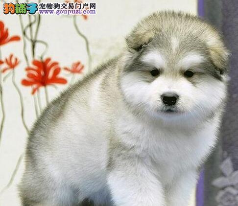 南宁正规专业繁殖基地直销阿拉斯加雪橇犬可提前预约