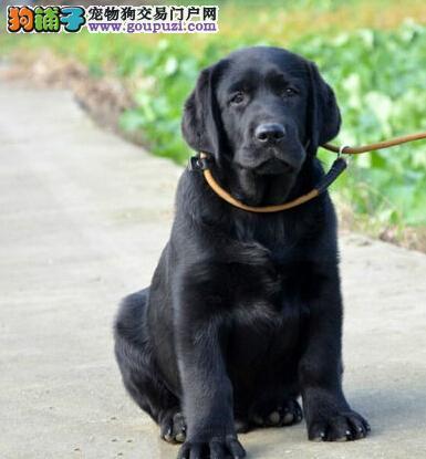 北京出售纯种拉布拉多幼犬赛级品质健康质保免费送货