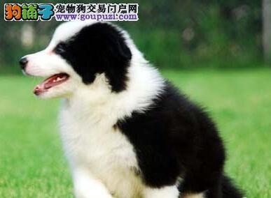 北京纯种边牧幼犬七白三通双血统基地繁殖包健康有公母
