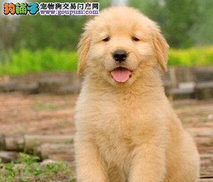 乌鲁木齐温顺护主金毛寻回犬特价出售中 包纯种健康