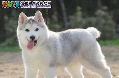 沈阳正规犬舍繁殖出售双血统的哈士奇幼犬 签购犬协议